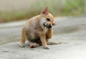 Dog scratching ear